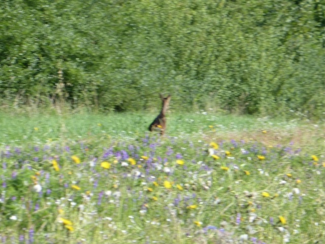 Roe deer in the Cornfield Arable