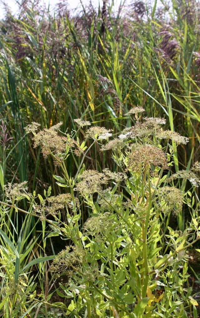 Greater Water Parsnip in the flood basin