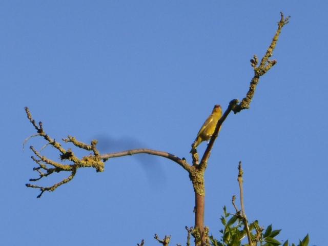 Ricked-necked Parakeet