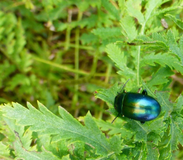 A 'blue' Tansy Beetle