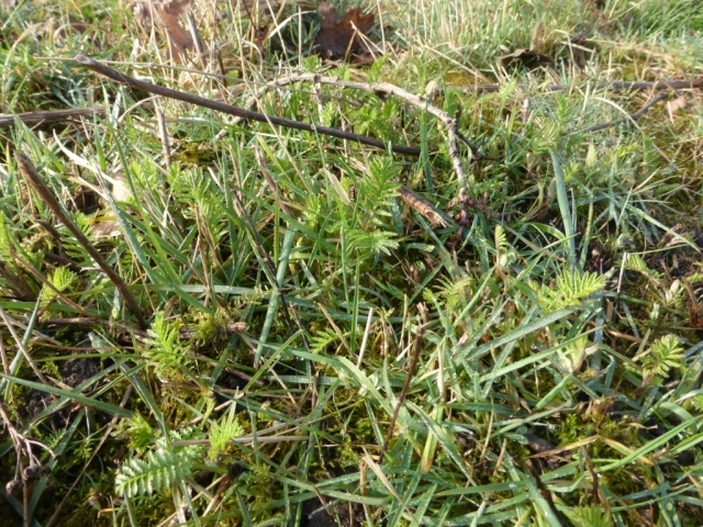 Tansy plants poking through on northern mound by the Pond