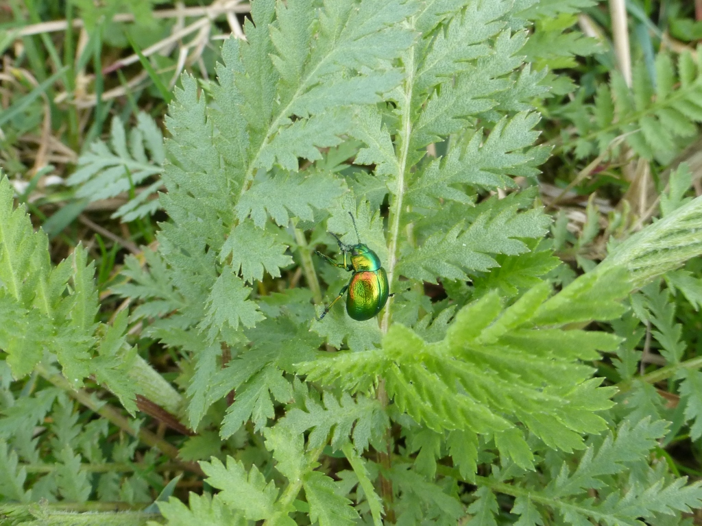 Tansy Beetle 20th March 2019 (c) Mick Phythian