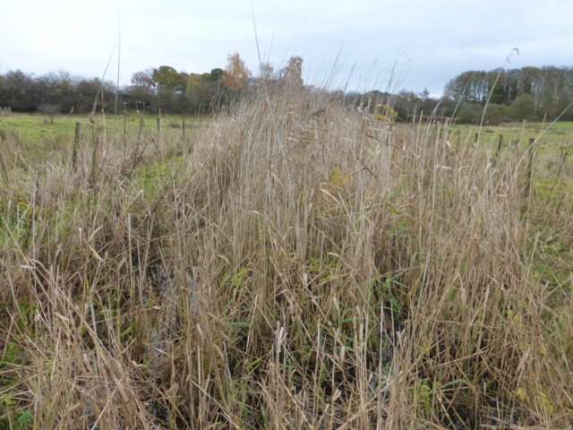 Phragmites before