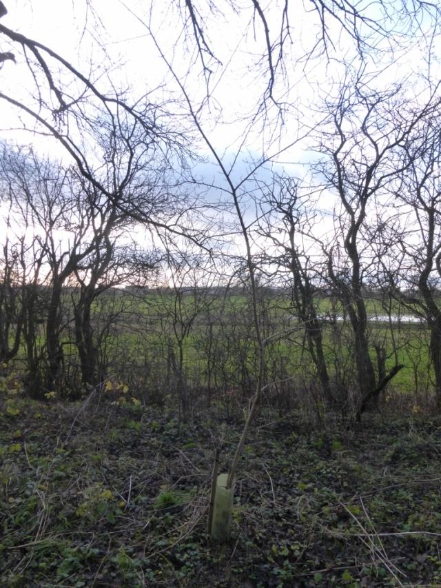 Elm sapling